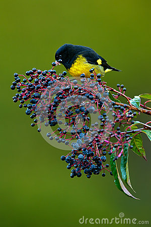 Free Yellow-bellied Siskin, Carduelis Xanthogastra, Tropic Yellow And Black Bird Eating Blue And Red Fruits In The Nature Habitat, Save Royalty Free Stock Photos - 70943368