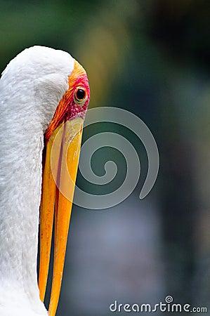 Yellow billed Stork 4