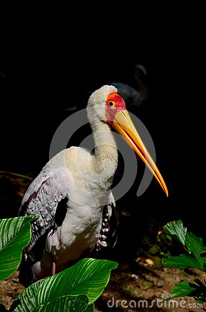 Yellow Billed Stork peers at camera