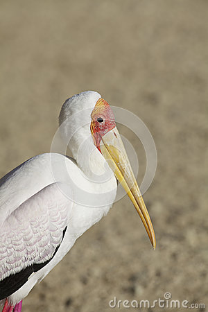 Yellow-billed Stork Portrait