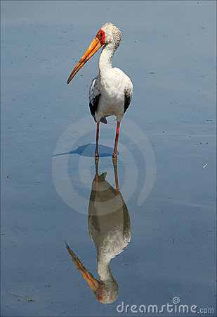 The Yellow-billed Stork and reflection.