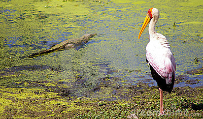 Yellow billed stork with small crocodile