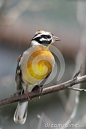Free Yellow Bird Royalty Free Stock Photography - 7144377