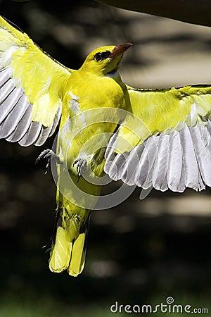 Yellow Bird Royalty Fr...
