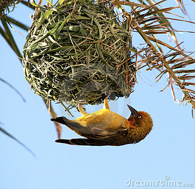 Free Yellow Bird. Cape Weaver. Stock Image - 5056511