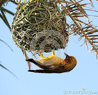 Yellow Bird. Cape Weaver. Stock Image - Image: 5056511
