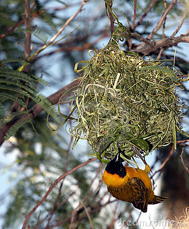 Free Yellow Bird Hanging High In Air From Nest Stock Image - 368861