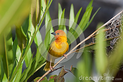 Yellow Birdei with green background