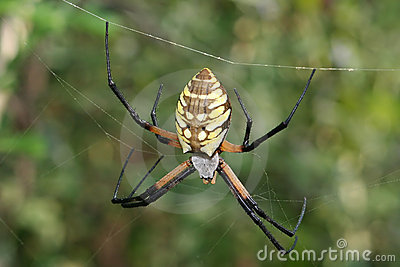 Yellow and Black argiope