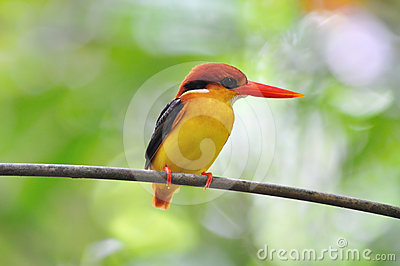 Yellow black and red bird (Black backed Kingfisher