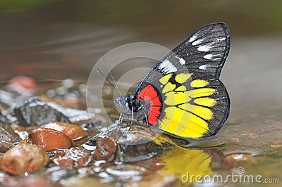 Yellow Black and Red Butterfly