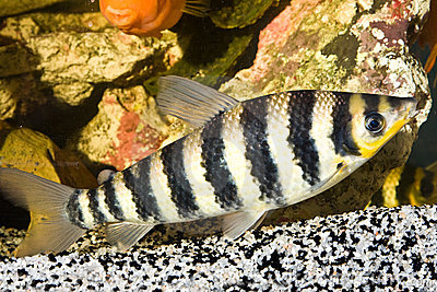 Yellow black striped fish in an aquarium royalty free for Tiger striped fish