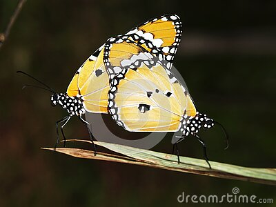 Yellow Black And White Monarch Butterfly Free Public Domain Cc0 Image