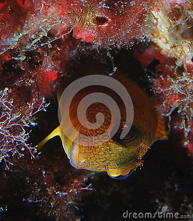 Free Yellow Blenny Stock Image - 58309611