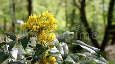 Yellow Blossom on a bush / shrub swinging in the wind. The Mahonia aquifolium, the Oregon grape, on a sunny spring day in a Berlin. Park. It`s an evergreen stock video