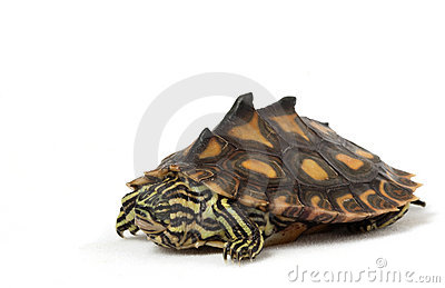 Yellow Blotched Map Turtle