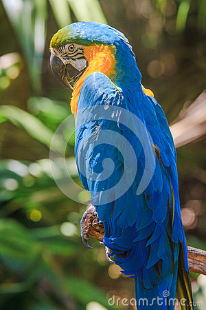 Yellow blue Ara parrot