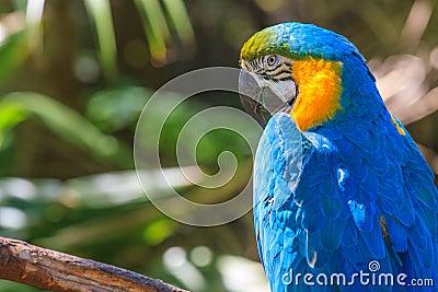 Yellow blue Ara parrot