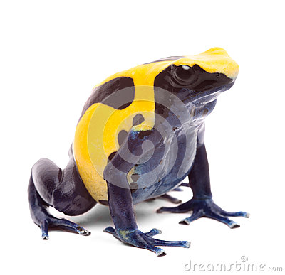Yellow blue poison dart frog