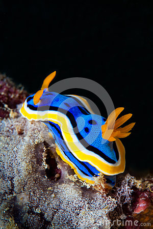 Free Yellow, Blue, White, Purple And Black Nudibranch. Underwater Pho Royalty Free Stock Photos - 61592298