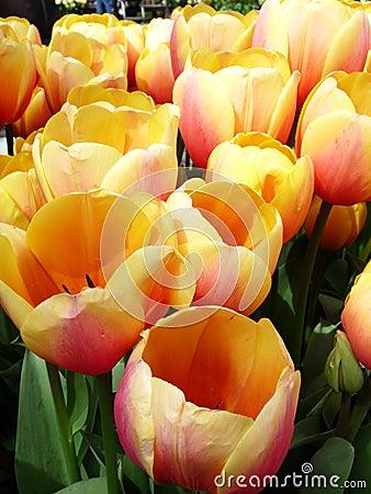 Yellow Blushing Tulips