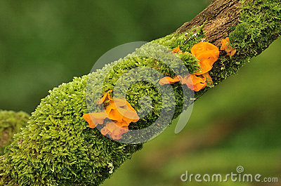 Yellow brain fungus (Tremella mesenterica)