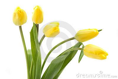 Yellow bud tulips