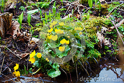 Yellow buttercup flowers Ranunculus. in the meadow Stock Photo