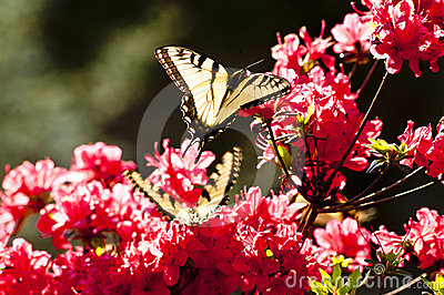 Yellow butterflies and pink azaleas