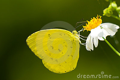 Yellow butterfly feed on little white flower