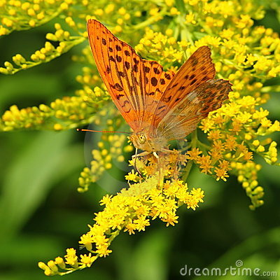 Free Yellow Butterfly On A Yellow Flower Stock Photos - 15992853