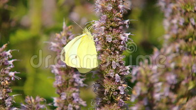 Yellow Butterfly stock video footage