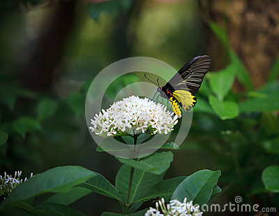 Yellow butterfly on whtie flower and  green tree l