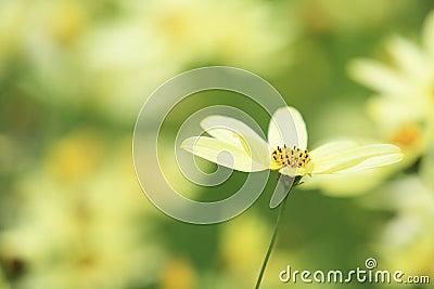 Yellow calliopsis