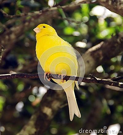 صور الكناري  الجميل Yellow-canary-thumb9120946