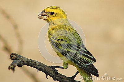 Yellow Canary - Portrait of Gold