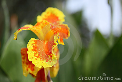 Yellow canna flower shallow depth of field