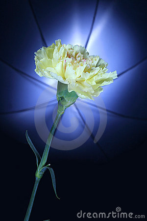 Yellow carnation against umbrella lighting in back