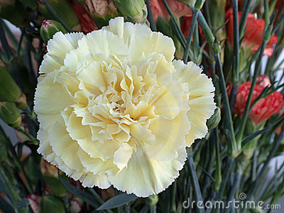Yellow Carnation Flower