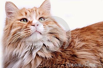 Yellow cat.