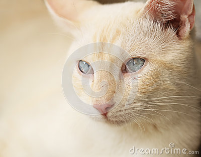 Yellow cat portrait