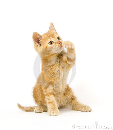 Free Yellow Cat Swinging At Toy Stock Photo - 3086020