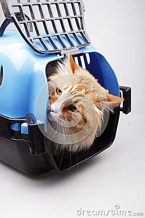 Yellow cat in transport box