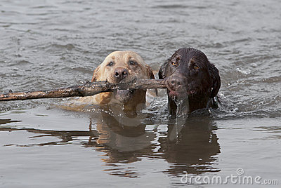 Yellow and Chcolate Labrador Retrievers swimming