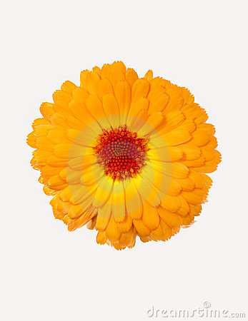 Free Yellow Chrysanthemum Stock Image - 14449881