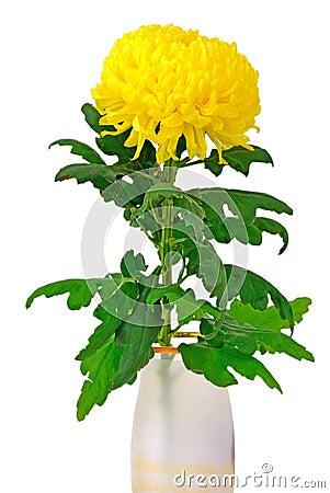 Free Yellow Chrysanthemum Royalty Free Stock Images - 21988649