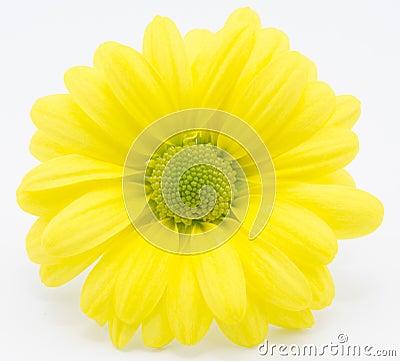 Free Yellow Chrysanthemum Royalty Free Stock Images - 41590089