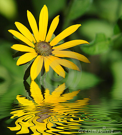 Free Yellow Chrysanthemum Royalty Free Stock Photo - 6444425