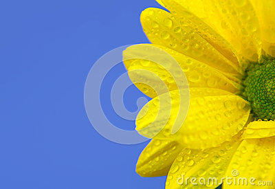 Yellow chrysanthemum on blue