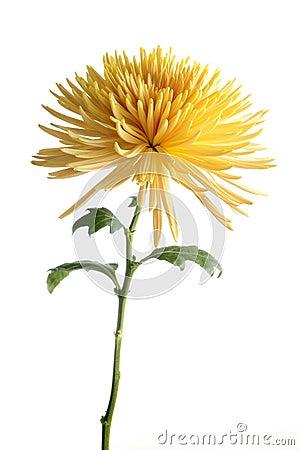 Free Yellow Chrysanthemum Flower Isolated Stock Image - 19546281